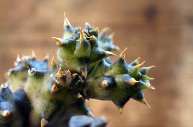 Edithcolea grandis エディスコレア・グランディス