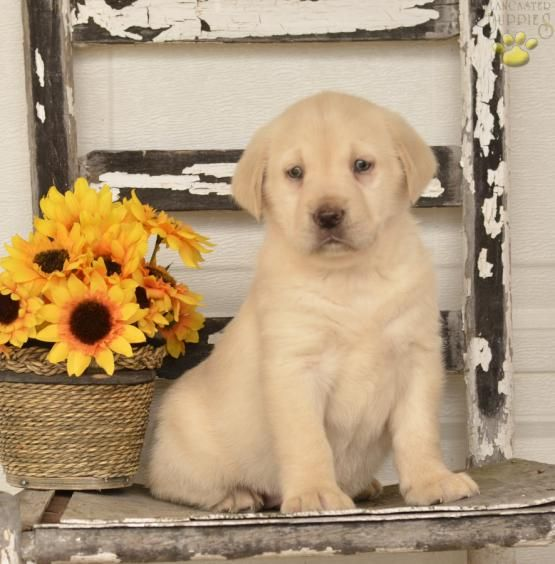 ☺ Fur Buddy Love ☺ #LabradorRetriever #Lab #Labrador #Retriever  #BuckeyePuppies #Puppies #Pups #Pup #Puppy #Funloving #Sweet #PuppyLove #Cute #Cuddly #ForTheLoveOfADog #MansBestFriend #dog #puppy #pets #animals #Dog #Pet #Pets #ChildrenFriendly #puppyandChildren #ChildandPuppy www.BuckeyePuppies.com