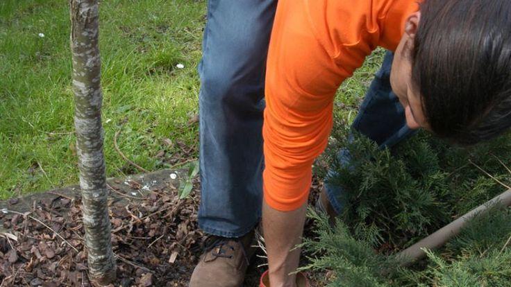 Plantar un rosal al pie de un árbol - Paso 1
