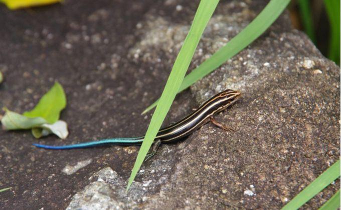 ニホントカゲの生態と特徴 飼育方法を紹介 飼育難易度やカナヘビとの見分け方は Woriver ニホントカゲ カナヘビ トカゲ