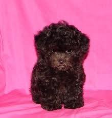 black maltipoo puppy - Google Search