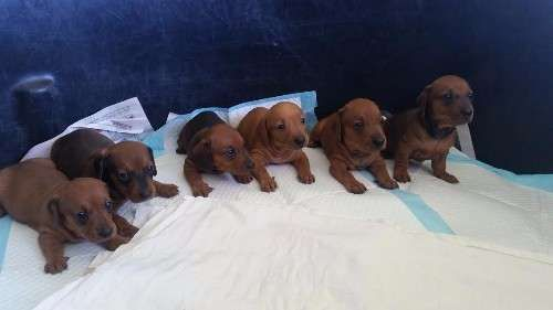 2 Shaded Red Females minature short haired dachshund puppies. Born 30/1/17 and ready to go now! They have been vaccinated, microchipped and vet checked. Mum is a beautifully natured Black and Tan mini (5kg) who is wonderful with kids and other animals. Dad is a registered mini Tan, who has a quiet nature and also from a family home.     Have your new puppy in time for school holidays!     Delivery to Air Freight Courier can be arranged. $2,000 OBO