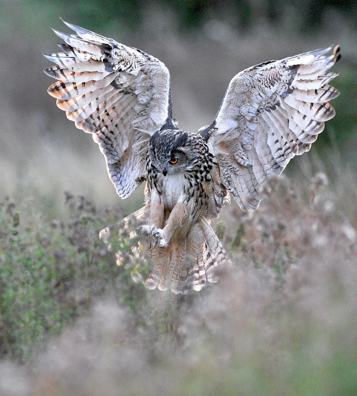 Kaln (European Eagle Owl) coming into land