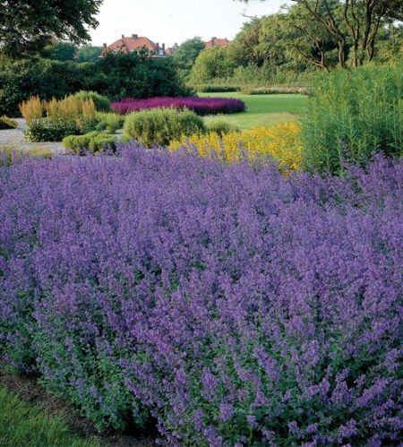 Nepeta Walkers Low is the best ornamental Nepeta variety to grow with your roses.