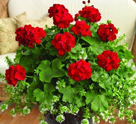 Geranium 'Calliope Dark Red'                                                                                                                                                                                 More