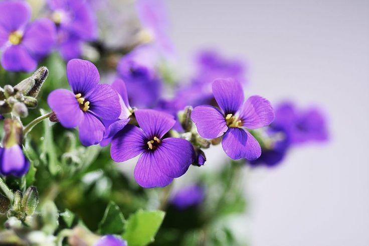 Blaukissen Blaumeise - Aubrieta cultorum Blaumeise günstig online kaufen #Staude #Blüte #Blume #Garten #Natur #Gestaltung #Pflanze #Sommer #Sonne #Frühling #Schön #Fotografie #Blaukissen
