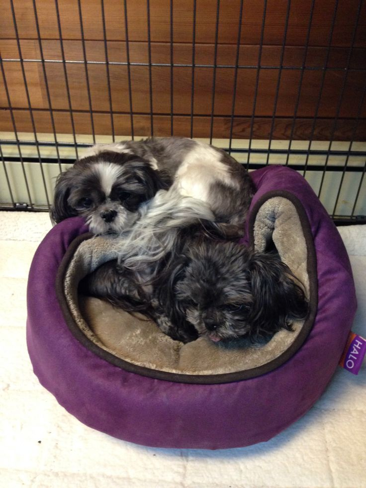 Lily wants a bed too Dogs, Shih tzu, Animals