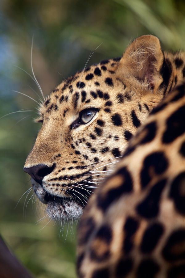 Love Panther by Speciale Emmanuel, via 500px#Repin By:Pinterest++ for iPad#