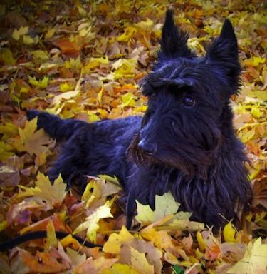 Scottish Terrier Information and Pictures, Scottie, Aberdeen Terrier, Scottish Terriers, Scotties, Aberdeen Terriers