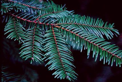 Abies grandis  grand fir dark blue green, long needles widely parted