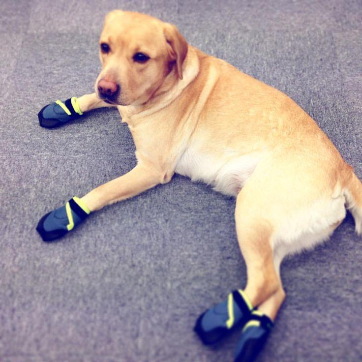 いいね!19件、コメント1件 ― Coron Ctoさん(@coron.cto)のInstagramアカウント: 「女子は足元から綺麗にしないとね。 今日は#docdog さんのくつを履いたの。 #コロン #ころん #犬専務 #ラブラドール #セラピー犬 #犬用シューズ #おしゃれ #美しくなりたい…」