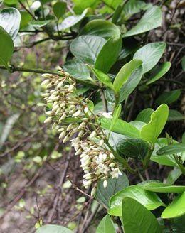 Parsonia Capsularis - slightly different to Parsonia Heterophylla