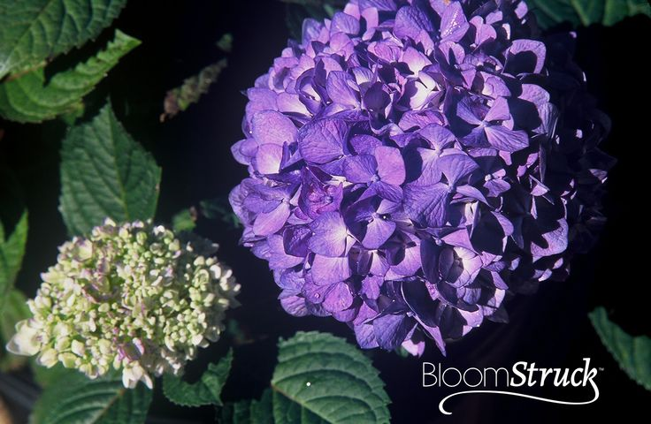 BloomStruck hydrangea from the world's best selling reblooming hydrangea collection, Endless Summer - Available Spring 2014
