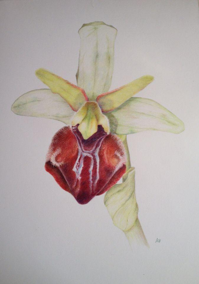 Herae Orchid