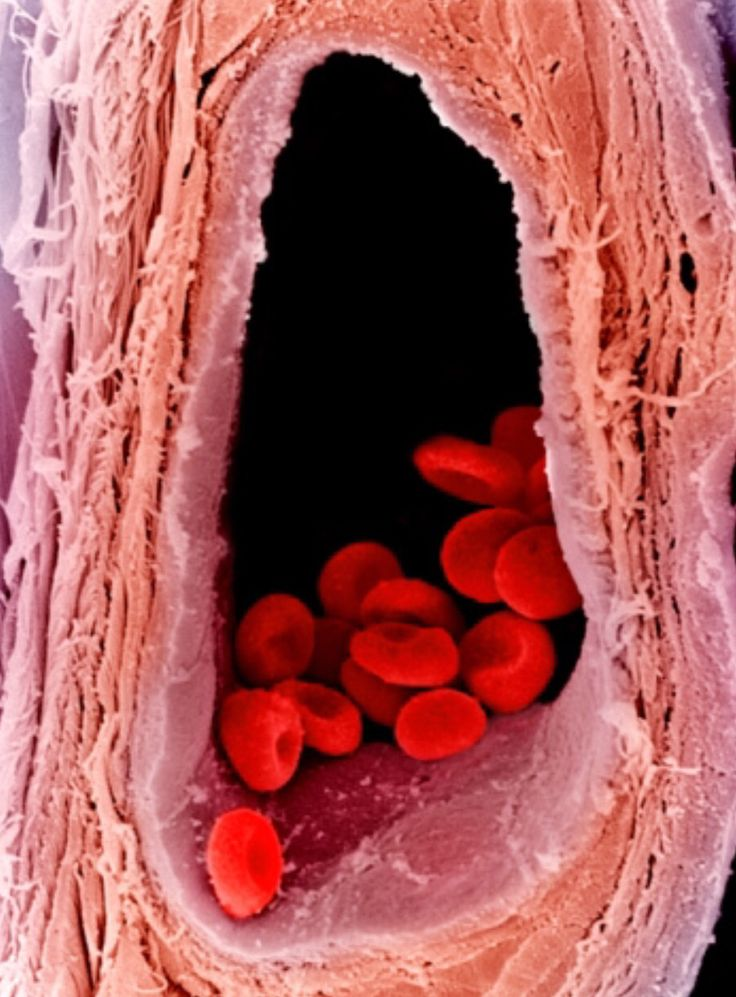 Red blood cells inside a vein (SEM)  Red blood cells are responsible for transporting oxygen throughout the whole body.