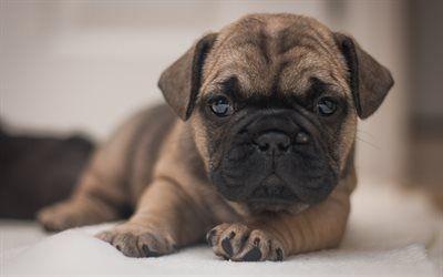 Scarica sfondi Piccolo cucciolo, cane, carino animali, francese, bulldog, cucciolo
