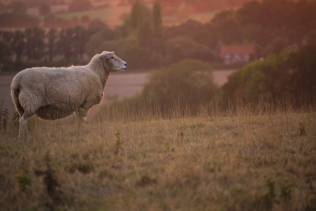 Sheep at sunset    Near Tenterden, Kent.