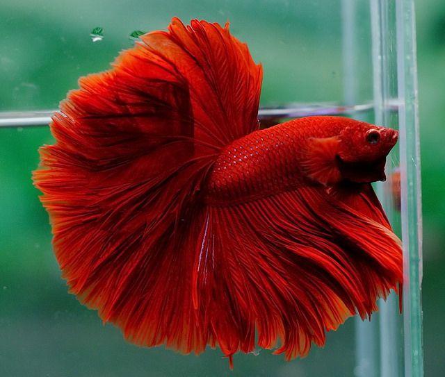 Gorgeous red my favorite♥ I named mine Garnet