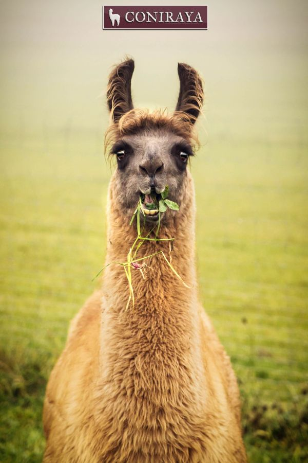 Llamas like to eat. All day, everyday. :D :D