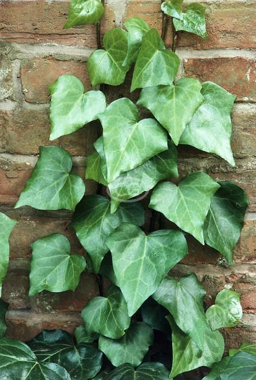 17 Best Images About Ivy On Pinterest Garden Supplies