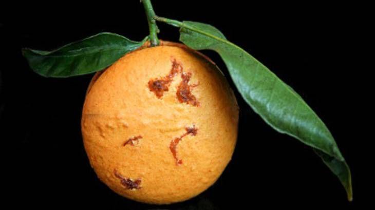 Macarons à la clémentine de Corse