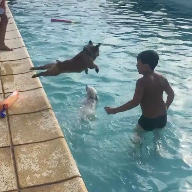 Miniature French Bulldog Loves Swimming So Much That He Jumps Back In Every Time