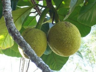 want to know this fruit? visit to sandakan find out more