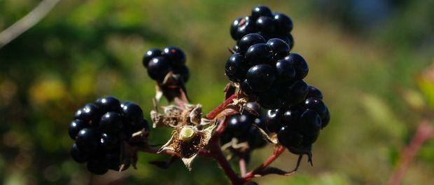 Selvplukkede bjørnebær og vaniljesaus Blackberries