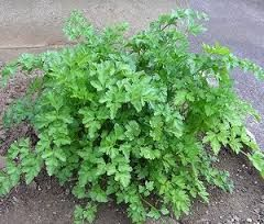 Flat Parsley - Full sun - prevent from going to seed - 50cm