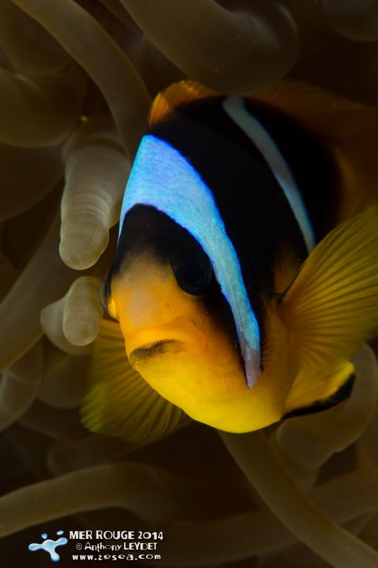 Poisson clown #plongée #clown #redsea #diving #biodiversity #nature