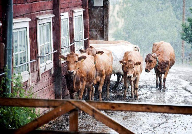Karjan omistava Johanna Penttinen arvelee, että hän joutuu myymään lehmänsä teuraaksi, koska niiden elävänä myynti tuskin onnistuu ehec-tartunnan takia. TS/Lennart Holmberg