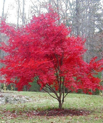 the  best small trees ideas on   evergreen garden, Natural flower
