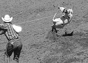 calf cruelty.  Help the Vancouver Humane Society ban calf roping at the Calgary Stampede. Click for contacts and ideas.