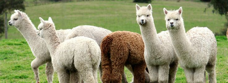 Kelly & Windsor Alpaca Bedding