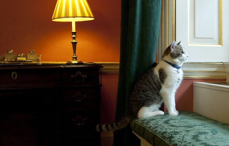 """""""Larry"""", noua pisică de pe Downing Street numărul 10, reşedinţa primului ministru al Marii Britanii, se uită pe fereastră, în Londra, marţi, 15 februarie 2011. (  Mark Large / WPA POOL / Getty Images / Guliver  ) - See more at: http://zoom.mediafax.ro/news/cats-in-the-news-12976632#sthash.kVUHaMTi.dpuf"""
