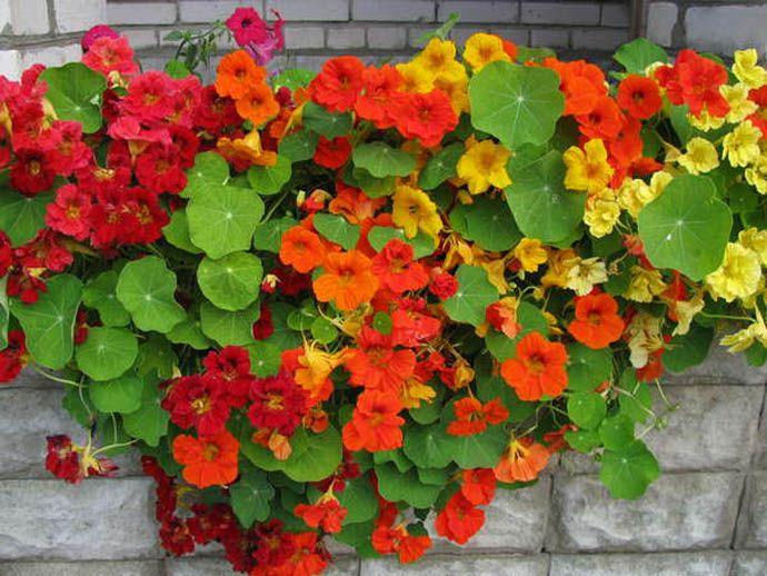 Из всех элементов питания, больше всего настурция нуждается в фосфоре, который стимулирует цветение растения