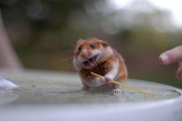"for some reason I am imagining this hamster is saying, ""yarrrr! shiver me timbers!"""