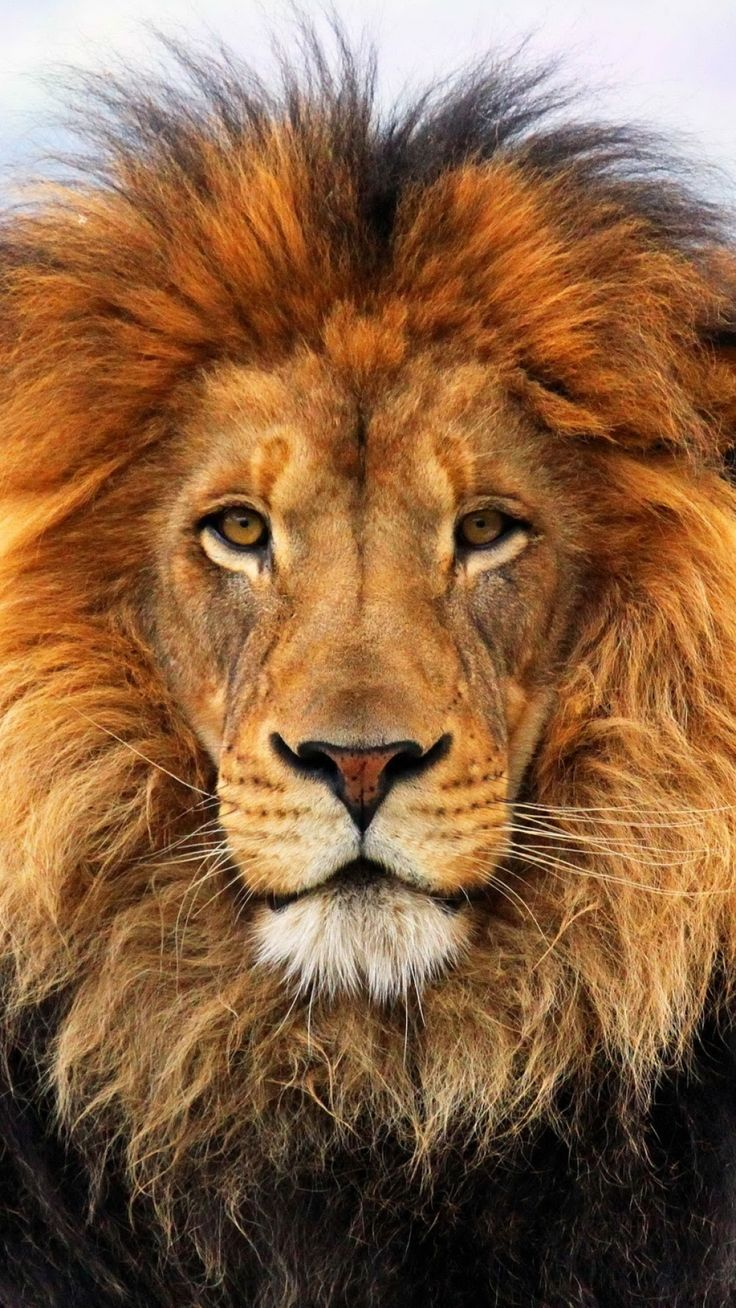 1080x1920 Wallpaper lion, mane, eyes, waiting, big cat, carnivore, king of beasts