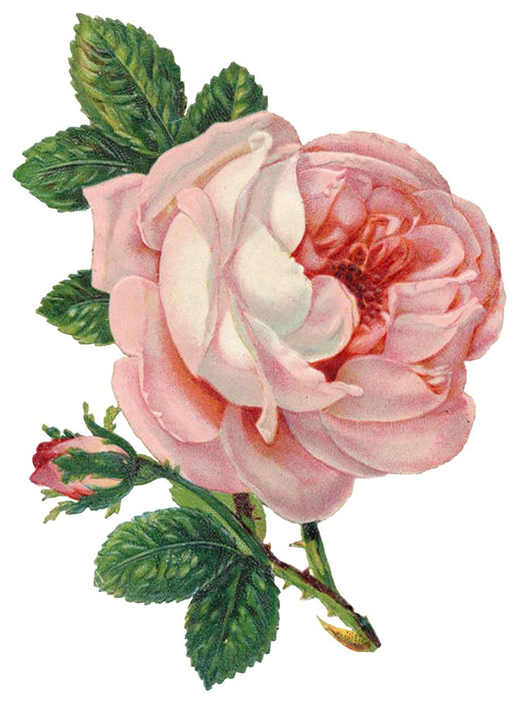 Can never have to many vintage cabbage roses....love this one to bits!!   Lilac & Lavender: Belles Roses & Cartes Postales