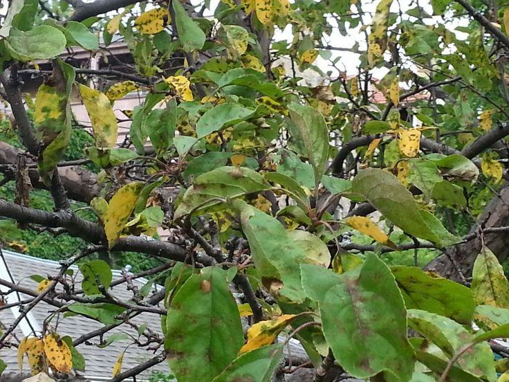 Пожелтевшие листья яблони, пораженные паршой