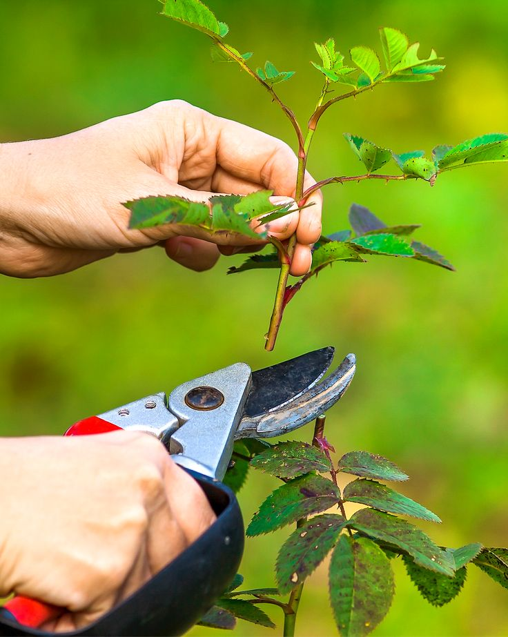 Taille des arbres et arbustes : intervenir au bon second