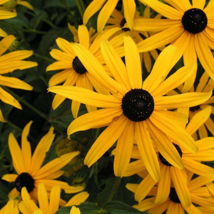 Gelber Sonnenhut (Rudbeckia fulgida var. sullivantii 'Goldsturm')