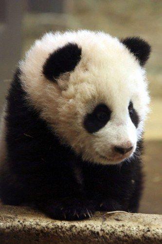 Adorable baby panda.