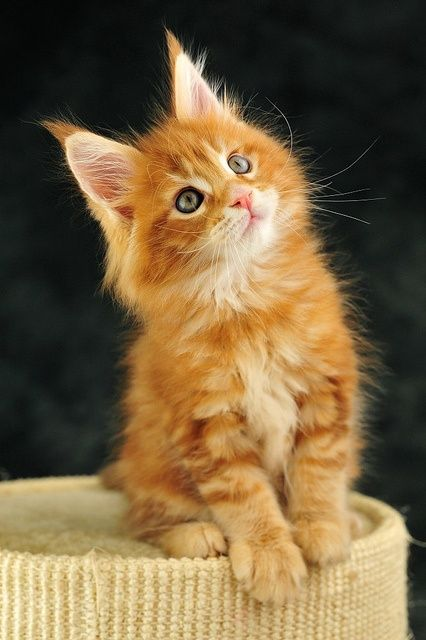 Orange Maine Coon kitten - WANT!!!                                                                                                                                                     More