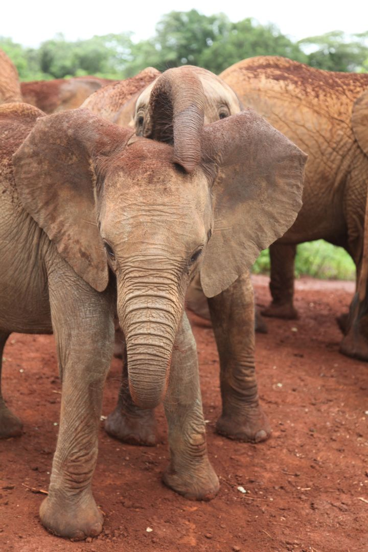 1311 best elephants gentle giants images on pinterest - Cute elephant pictures ...