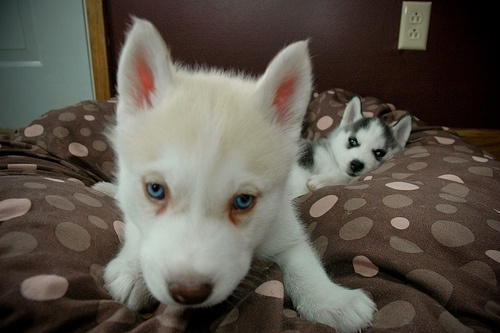 Huskies: Pretty Eye, Puppies Dogs, Dogs Puppies, Blue Eye, Puppy, Cute Husky, Husky Dogs, Husky Puppies, Adorable Animal