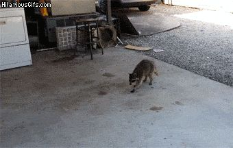 Raccoon Makes Zero Eye Contact…and Shamelessly Steals Cat's Food