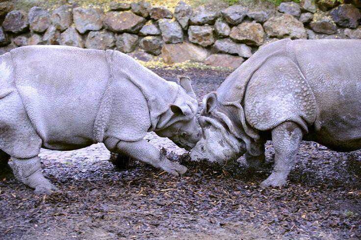 V Zoo Plzeň se ve čtvrtek spářili vzácní nosorožci indičtí
