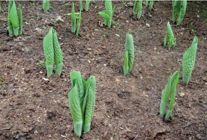 Размножаем хосты семенами