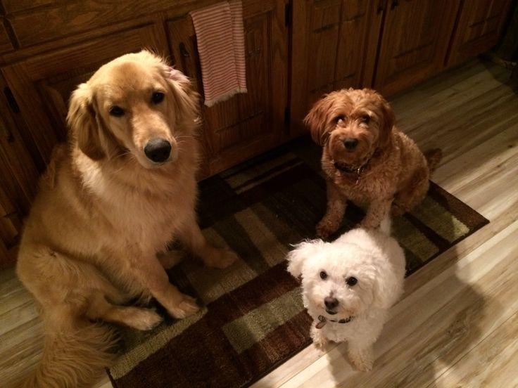 My three amigos Cody ody, Gracy kins, Baily boy